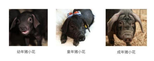 """凤凰平台图片:""""兽工智能""""之""""猪脸识别"""""""